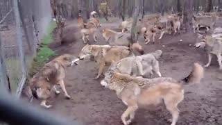 دنیای گرگ ها ...!!!