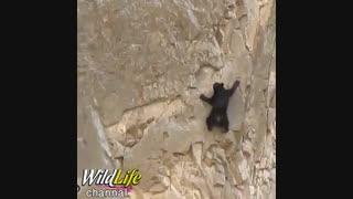 بالا رفتن توله خرس و مادرش از صخره ای که  شیب تند دارد