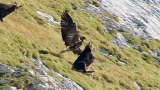 زیباترین فیلم حیات وحش شکست بزهای کوهی از عقاب غول پیکر