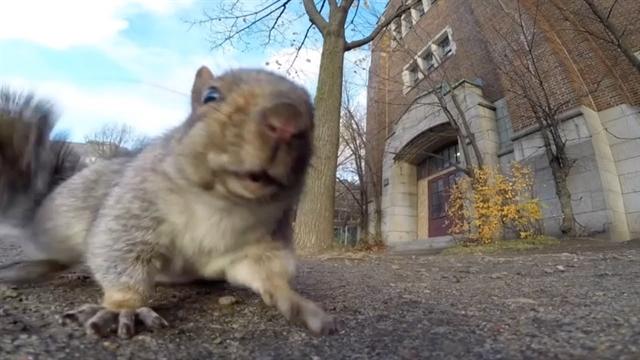 سنجابی که گوپرو رو با بلوط اشتباه میگیره