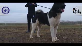 آمریکن آکیتا سگ گله و گارد قدرتمند